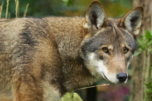 red wolves