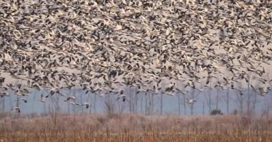 migratory waterfowl